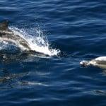 alonissos delfini